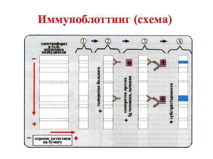 Иммуноблоттинг (схема)