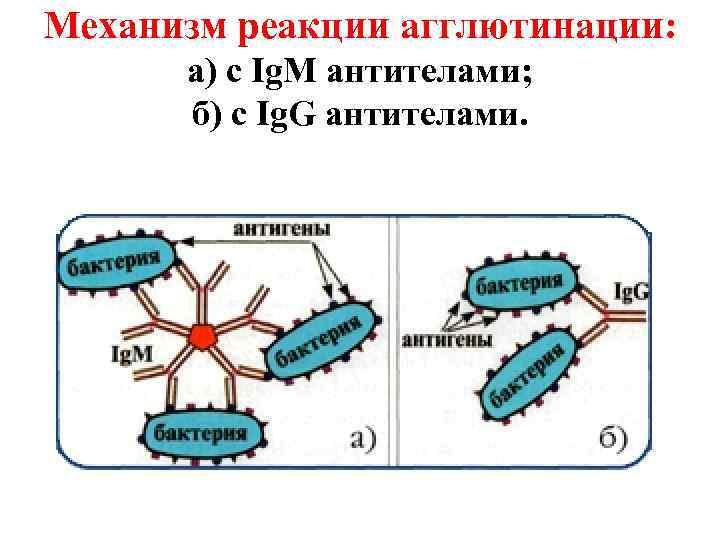 Механизм реакции агглютинации:  а) с Ig. M антителами;  б) с Ig. G