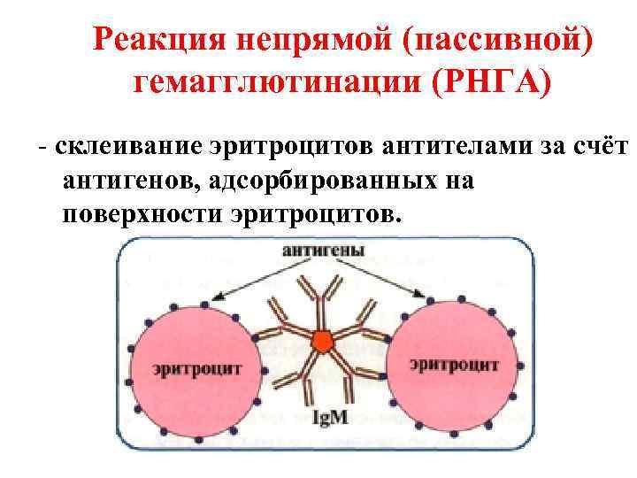 Реакция непрямой (пассивной) гемагглютинации (РНГА) - склеивание эритроцитов антителами за счёт