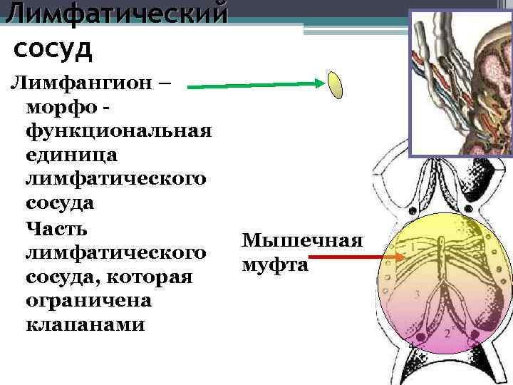 Лимфатический сосуд Лимфангион – морфо - функциональная единица лимфатического сосуда Часть