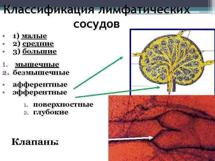 Классификация лимфатических  сосудов •  1) малые •  2) средние •