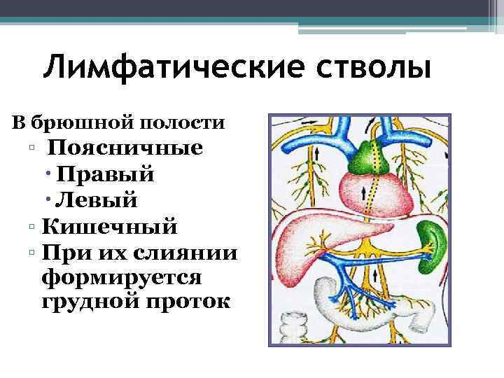 Лимфатические стволы В брюшной полости ▫ Поясничные Правый Левый ▫ Кишечный ▫ При