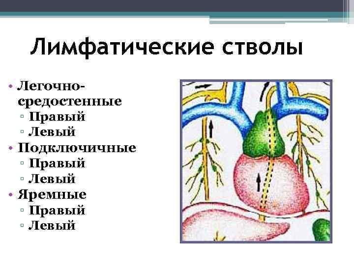 Лимфатические стволы • Легочно-  средостенные ▫ Правый ▫ Левый • Подключичные ▫