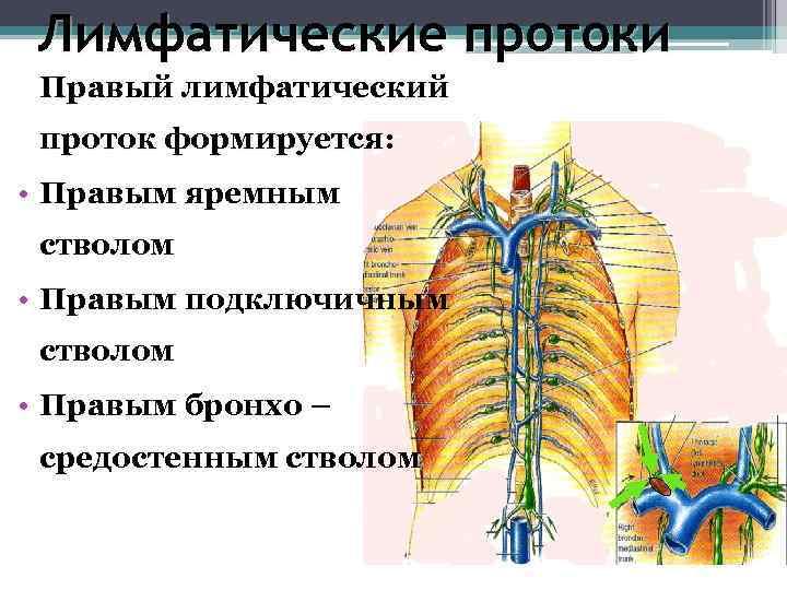 Лимфатические протоки  Правый лимфатический проток формируется:  • Правым яремным стволом •