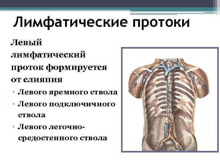 Лимфатические протоки Левый лимфатический проток формируется от слияния ▫ Левого яремного ствола ▫ Левого