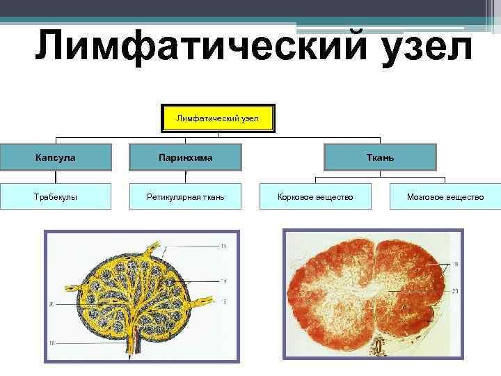 Лимфатический узел    Лимфатический узел  Капсула  Паринхима