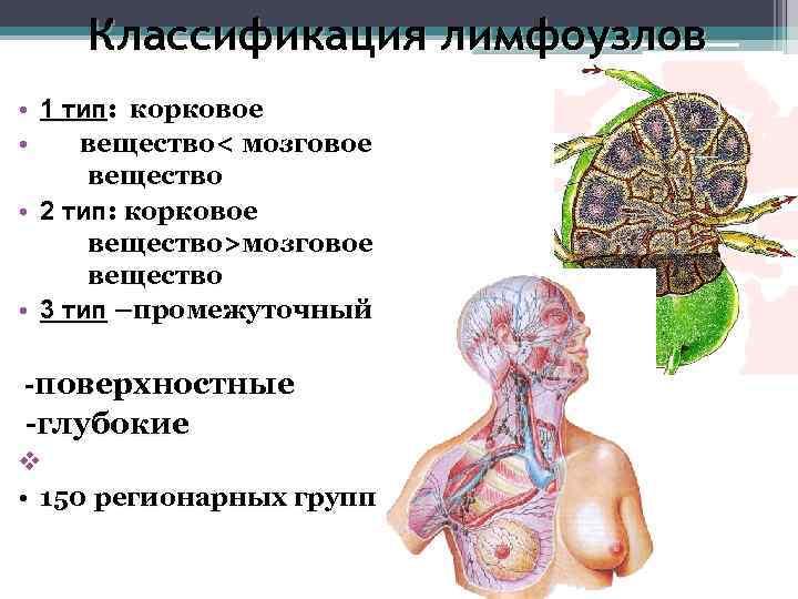 Классификация лимфоузлов • 1 тип:  корковое • вещество< мозговое  вещество