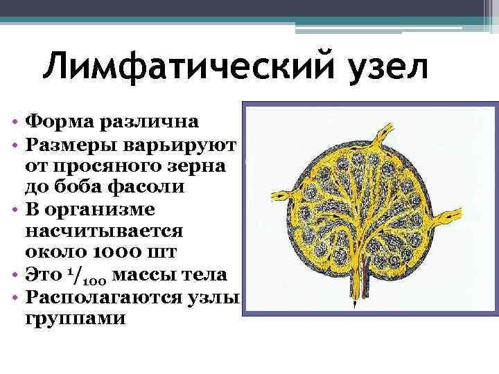 Лимфатический узел • Форма различна • Размеры варьируют  от просяного зерна