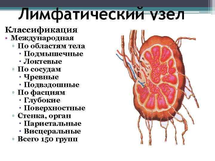 Лимфатический узел Классификация • Международная  ▫ По областям тела  Подмышечные