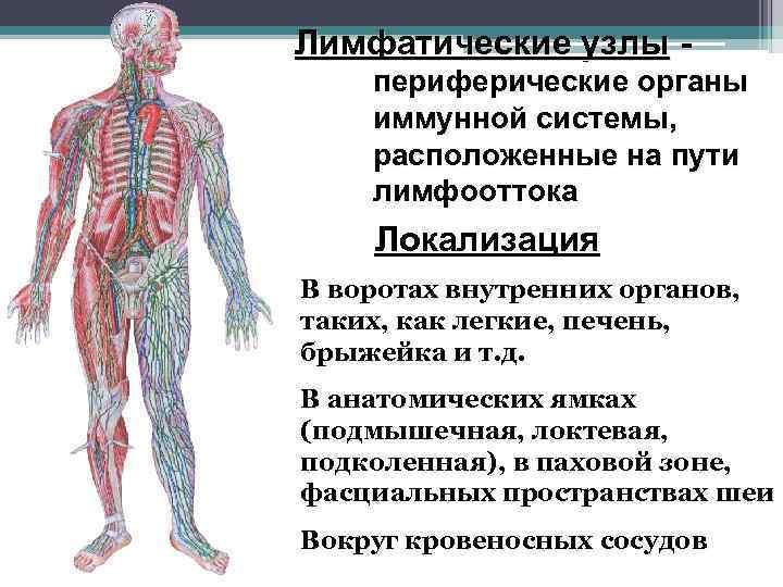 Лимфатические узлы - периферические органы иммунной системы, расположенные на пути лимфооттока Локализация В воротах