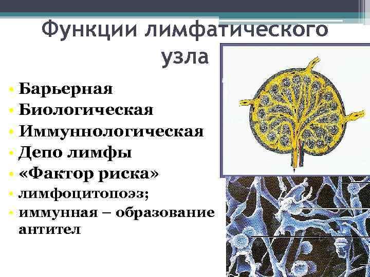 Функции лимфатического   узла • Барьерная • Биологическая • Иммуннологическая •