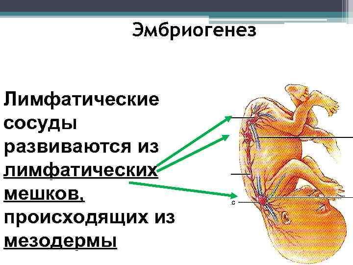 Эмбриогенез  Лимфатические сосуды развиваются из лимфатических мешков, происходящих из мезодермы