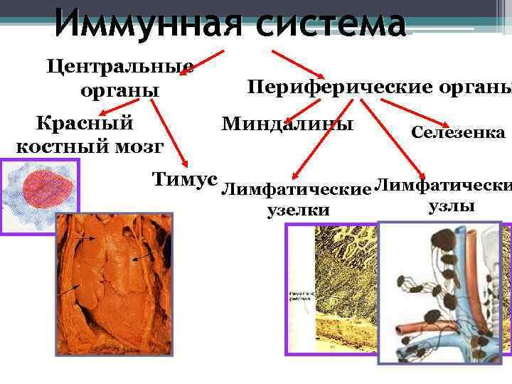 Иммунная система  Центральные органы   Периферические органы  Красный