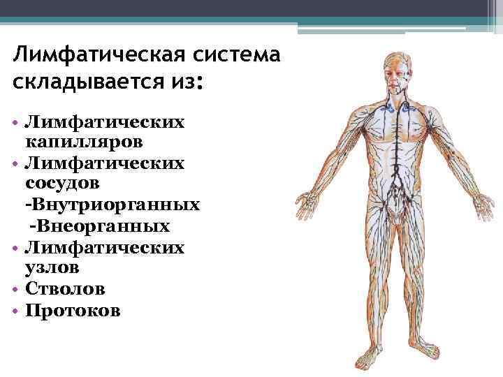 Лимфатическая система складывается из:  • Лимфатических  капилляров • Лимфатических  сосудов