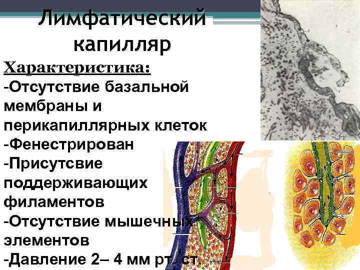 Лимфатический  капилляр Характеристика: -Отсутствие базальной мембраны и перикапиллярных клеток -Фенестрирован -Присутсвие
