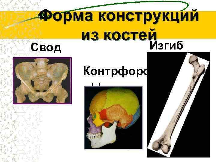 Форма конструкций из костей Свод  Изгиб   Контрфорс   ы
