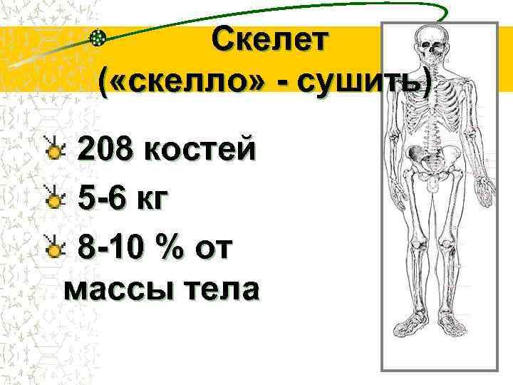 Скелет ( «скелло» - сушить)  208 костей 5 -6 кг 8