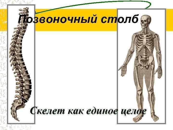 Позвоночный столб Скелет как единое целое