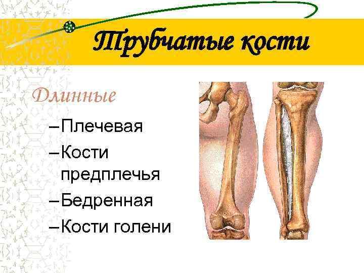 Трубчатые кости Длинные – Плечевая – Кости  предплечья – Бедренная – Кости