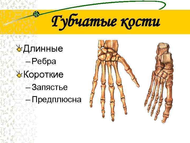 Губчатые кости Длинные – Ребра Короткие – Запястье – Предплюсна