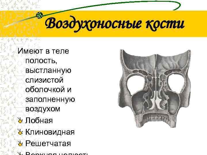 Воздухоносные кости Имеют в теле полость,  выстланную слизистой оболочкой и заполненную воздухом
