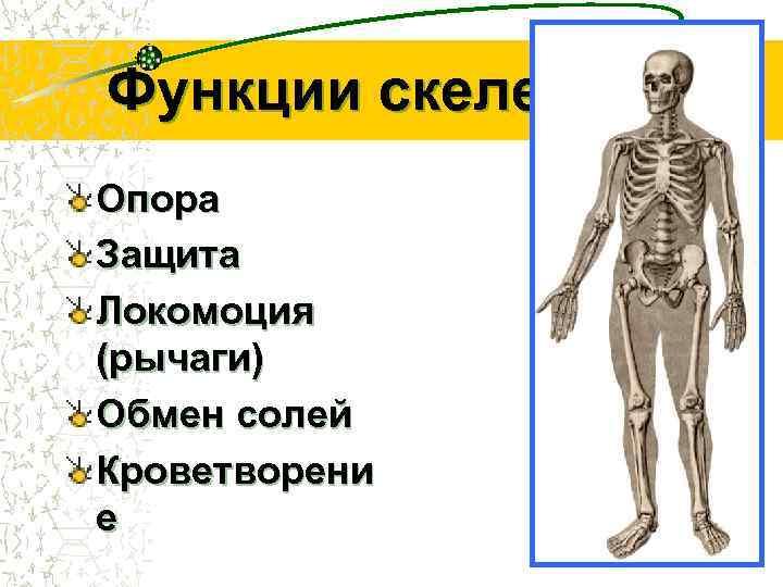 Функции скелета Опора Защита Локомоция (рычаги) Обмен солей Кроветворени е