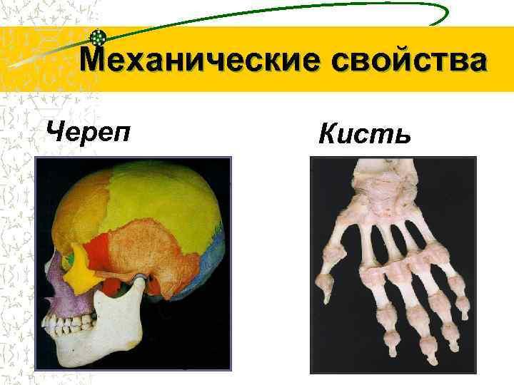 Механические свойства Череп  Кисть