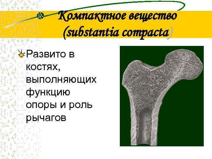 Компактное вещество  (substantia compacta) Развито в костях, выполняющих функцию опоры и роль