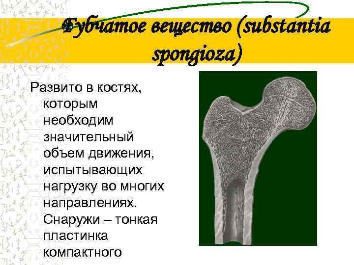 Губчатое вещество (substantia   spongioza) Развито в костях,  которым
