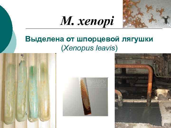 M. xenopi Выделена от шпорцевой лягушки  (Xenopus leavis)