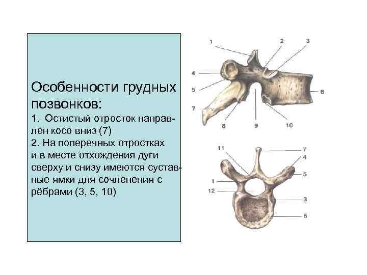 Особенности грудных позвонков: 1. Остистый отросток направ- лен косо вниз (7) 2. На поперечных