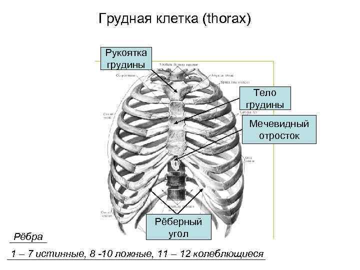 Грудная клетка (thorax)    Рукоятка    грудины