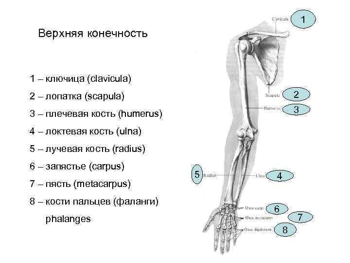 1 Верхняя конечность  1 – ключица (clavicula) 2 –