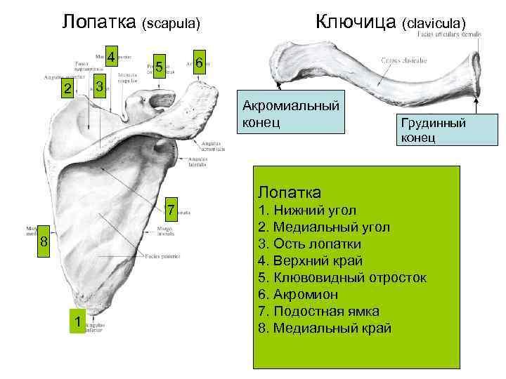 Лопатка (scapula)    Ключица (clavicula)   4  6