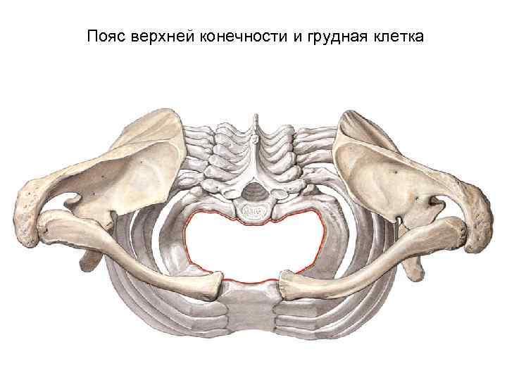 Пояс верхней конечности и грудная клетка