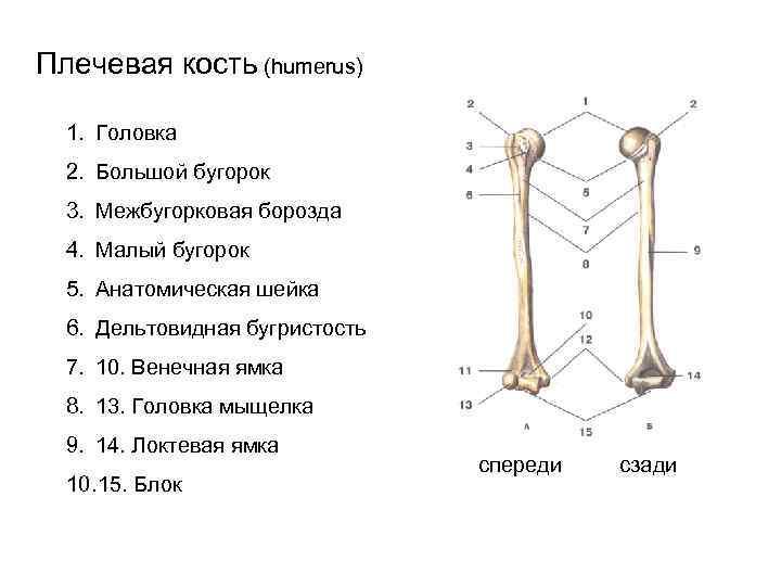 Плечевая кость (humerus)  1. Головка  2. Большой бугорок  3. Межбугорковая борозда