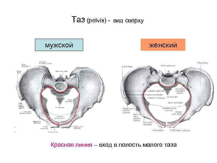 Таз (pelvis) -  вид сверху  мужской