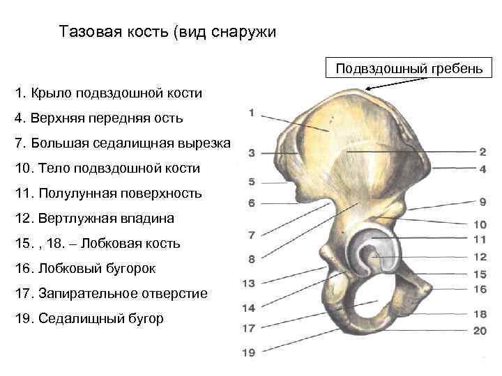 Тазовая кость (вид снаружи       Подвздошный гребень 1.