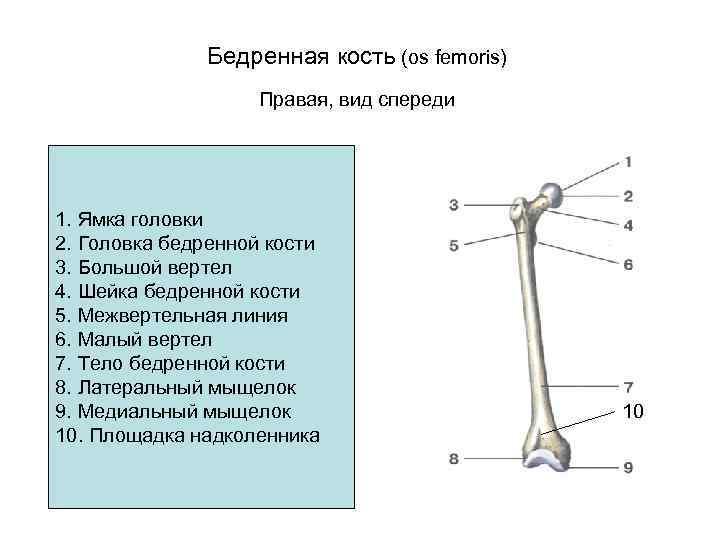 Бедренная кость (os femoris)     Правая, вид спереди