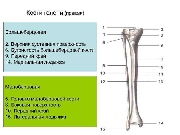 Кости голени (правая)  Большеберцовая 2. Верхняя суставная поверхность 6. Бугристость большеберцовой