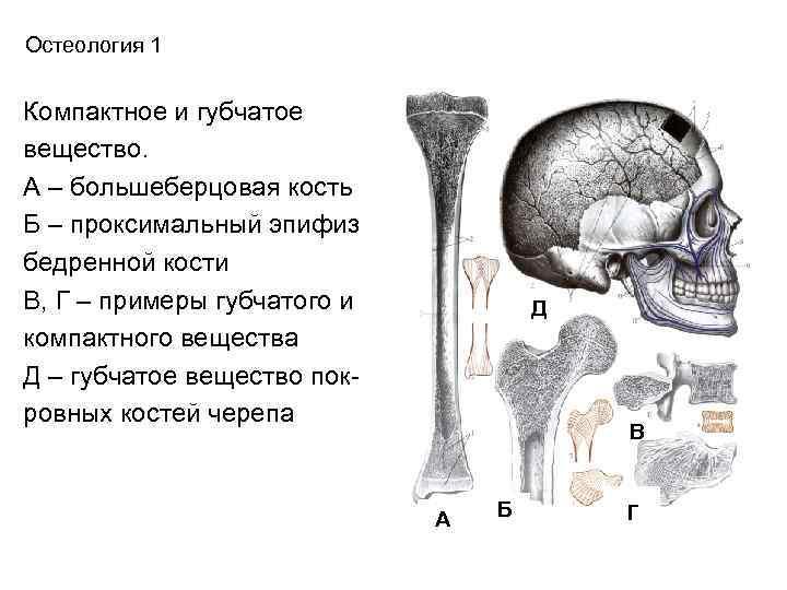 Остеология 1  Компактное и губчатое вещество. А – большеберцовая кость Б – проксимальный