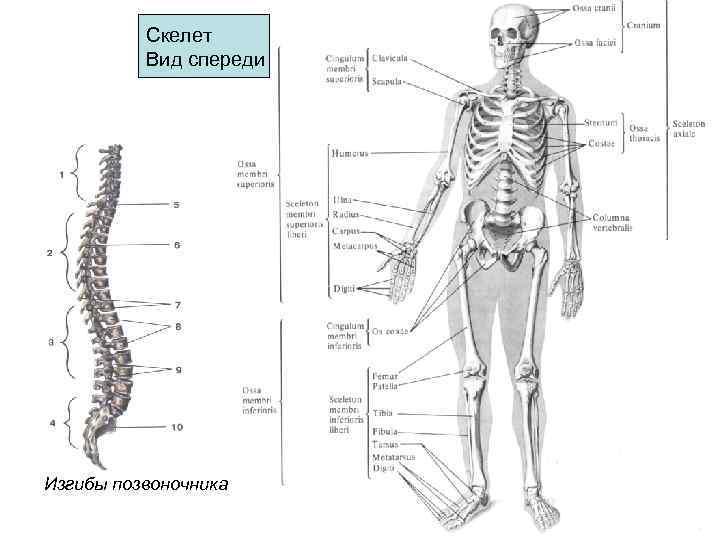 Скелет  Вид спереди Изгибы позвоночника