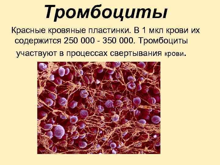 Тромбоциты Красные кровяные пластинки. В 1 мкл крови их содержится 250 000