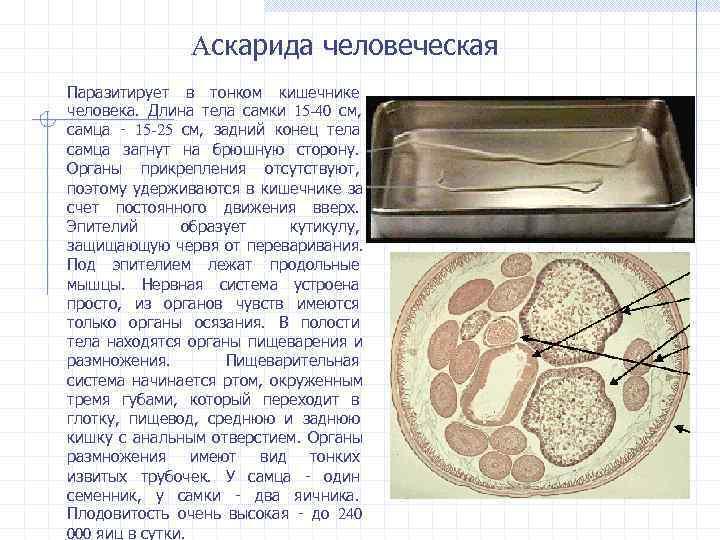 Аскарида человеческая Паразитирует в тонком кишечнике человека. Длина тела самки 15