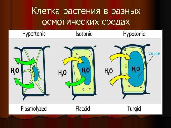 Клетка растения в разных  осмотических средах