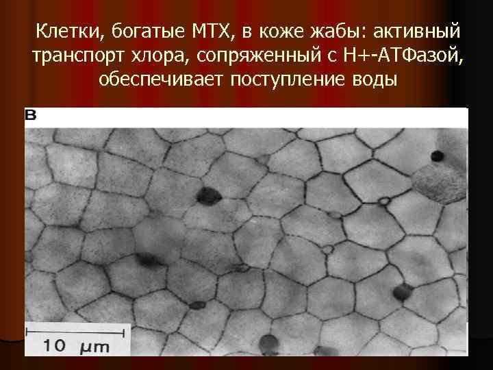 Клетки, богатые МТХ, в коже жабы: активный транспорт хлора, сопряженный с Н+-АТФазой,  обеспечивает