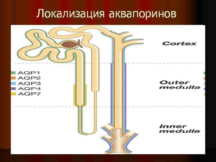 Локализация аквапоринов