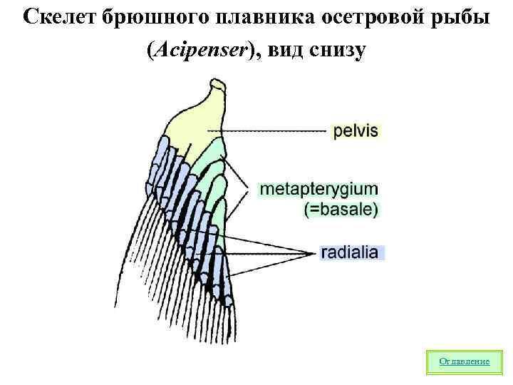 Скелет брюшного плавника осетровой рыбы  (Acipenser), вид снизу    Оглавление