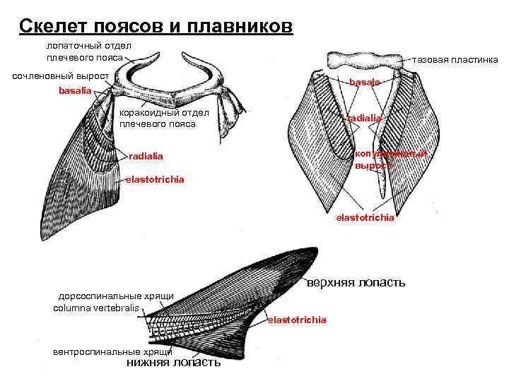 Скелет поясов и плавников  лопаточный отдел  плечевого пояса