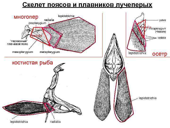 Скелет поясов и плавников лучеперых  многопер    basalia